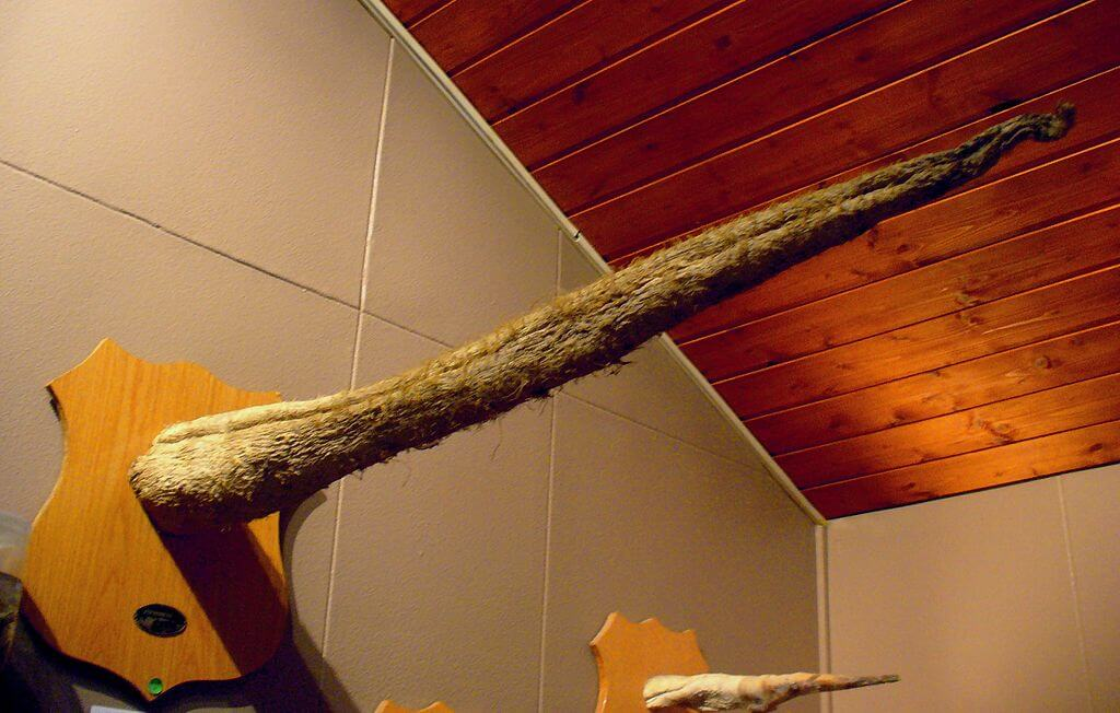 Un pénis de rorqual bleu séché de plus de 2 m.