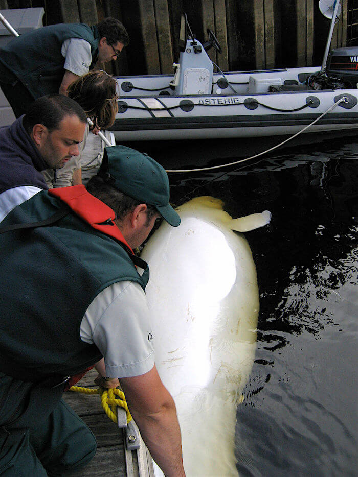 Beluga carcass found drifting off Tadoussac during red tide episode of August 2008.