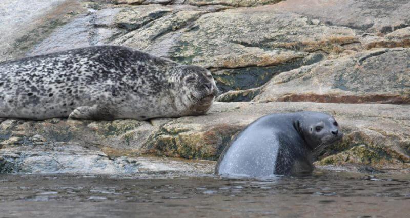 Des phoques communs sur les rochers