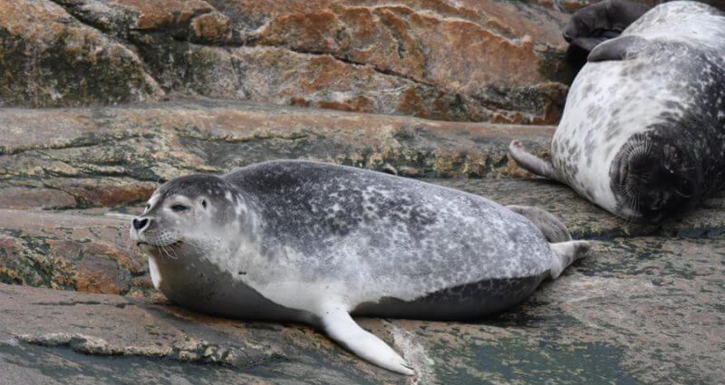 Un phoque commun sur les rochers