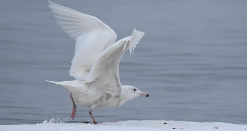 Un goéland arctique