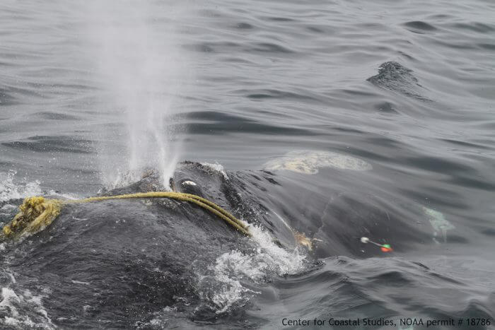 Kleenex (#1142) is an adult female right whale that has been entangled for the last three years. Her condition is deteriorating, as all disentanglement efforts so far have proven unsuccessful due to lack of trailing gear. © Center for Coastal Studies, NOAA permit #18786