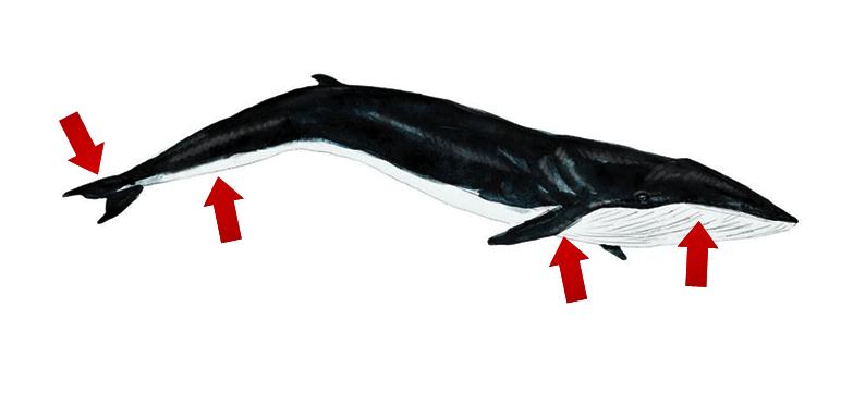 Schéma pointant les endroits susceptibles d'empêtrement, donc au niveau de la bouche, des nageoires pectorales, le long du pédoncule et de la nageoire caudale.