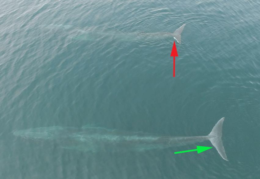 Photo aérienne de drone montrant des cicatrices visibles sur l'un des animaux au niveau de la queue