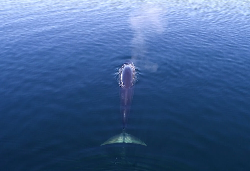 A fin whale, aerial photography.