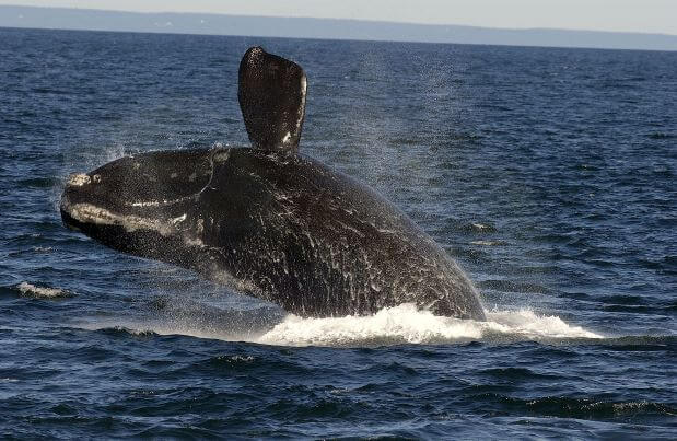 breach of right whale