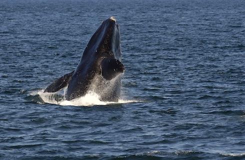 Saut de baleine noire