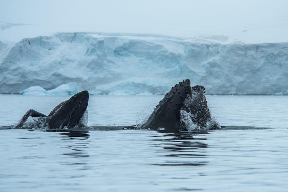 On voit deux bouches ouvertes de rorquals à bosse, avec de l'eau qui en déborde.