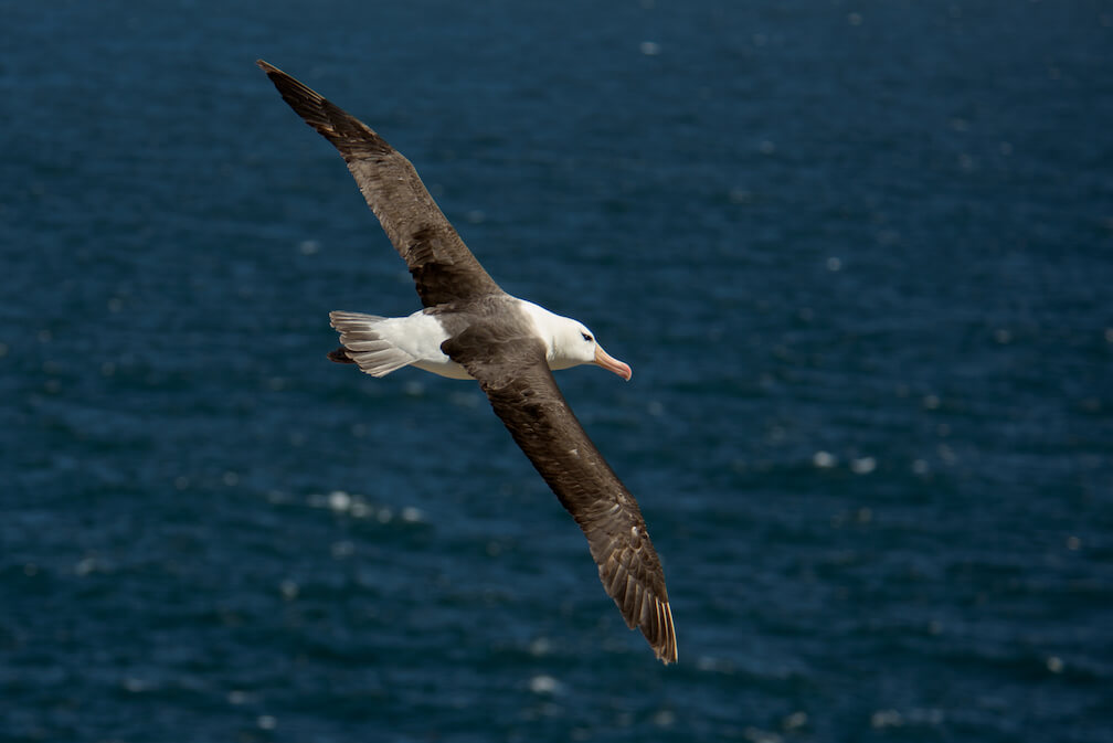L'albatross a les ailes noires et le corps blanc. Son bec est long et fini par un crochet. Un trait noir recouvre son oeil, ce qui donne l'impression de voir un sourcil.
