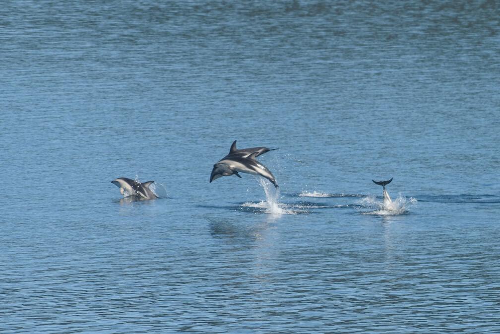 Quatre dauphins ayant une longue bande blanche et un dos noir sautent hors de l'eau
