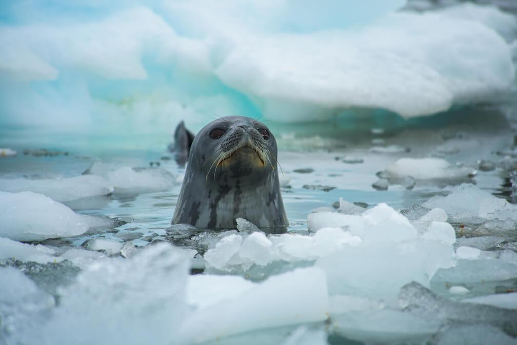 Le phoque de Weddell a une tête arrondie et un corps gris foncé.