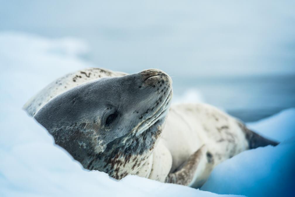 Le phoque léopard a une tête allongée et un pelage gris tacheté.