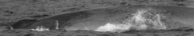 Archive du flanc gauche d'un rorqual bleu.