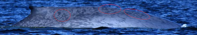 Flanc droit d'un rorqual bleu.