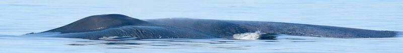 Flanc gauche d'un rorqual bleu.