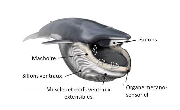 Schéma de la morphologie d'un rorqual