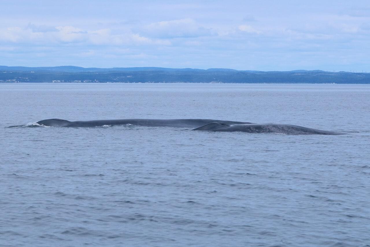 Le rorqual bleu Pleiade et son baleineau