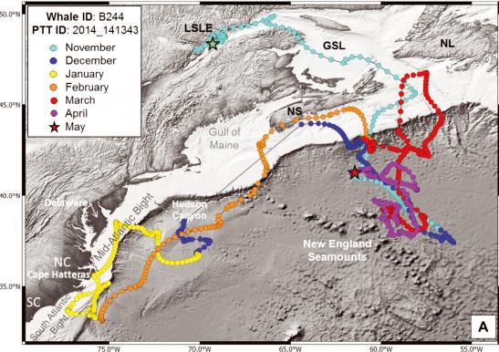 Une carte présentant la migration de la baleine bleue Symphonie de l'estuaire du Saint-Laurent aux côtes sud-est des États-Unies.
