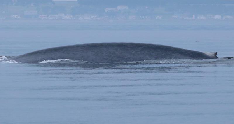 Le rorqual bleu B522 est photographié au large de Matane.