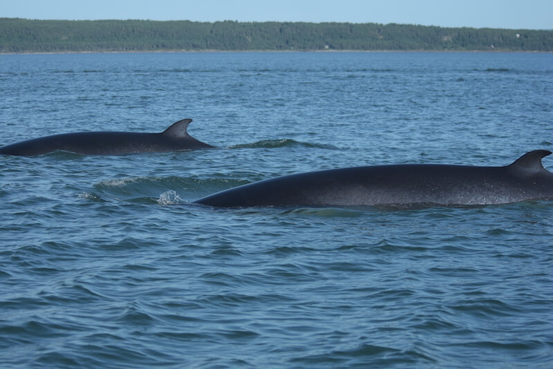 Two mink whales swimming close to the boat.