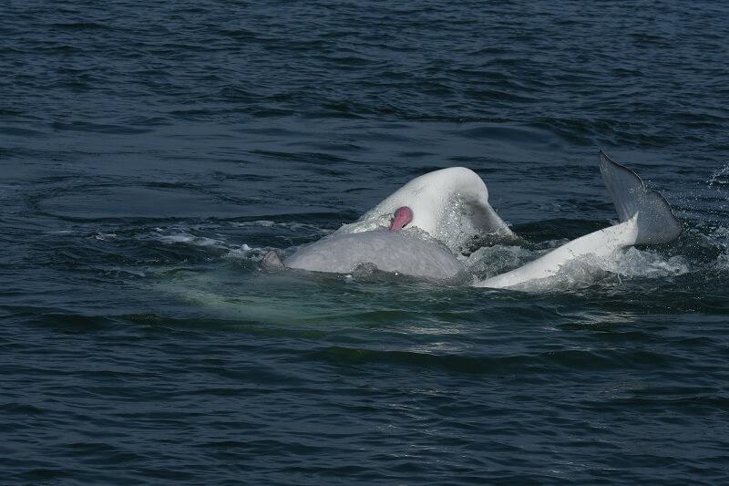 Un béluga mâle en action sur la surface de l'eau