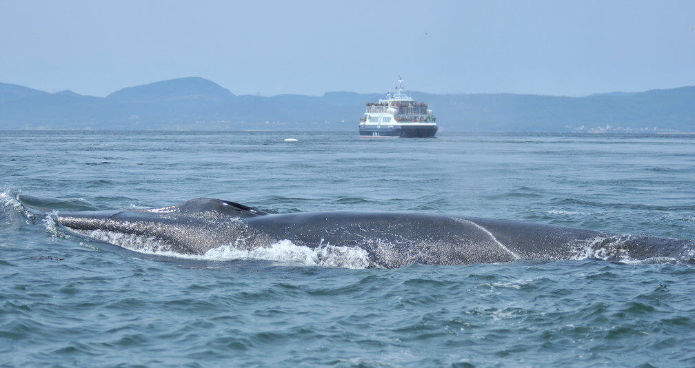 A fin whale swims in front of a beluga. In the background, a whale-watching cruiseship