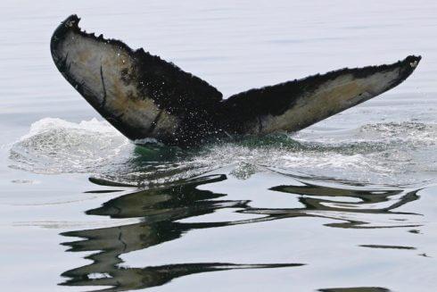 Queue du baleineau du rorqual à bosse Tingley