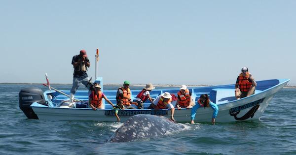 Des touristes touchent une baleine grise à Baja, Mexique.