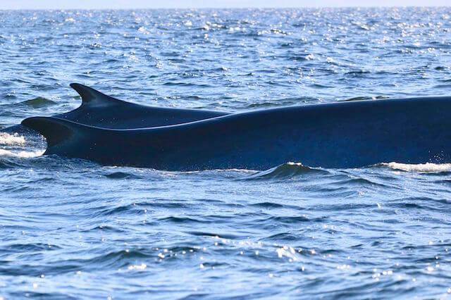 A fin whale with a calf