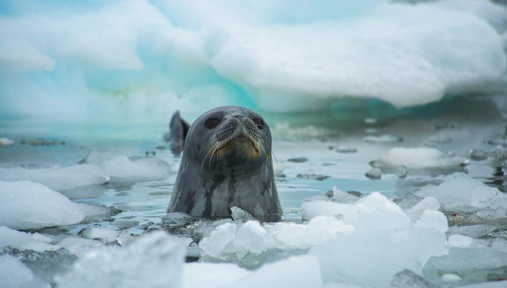 Un phoque de Weddell dans les glaces de la péninsule