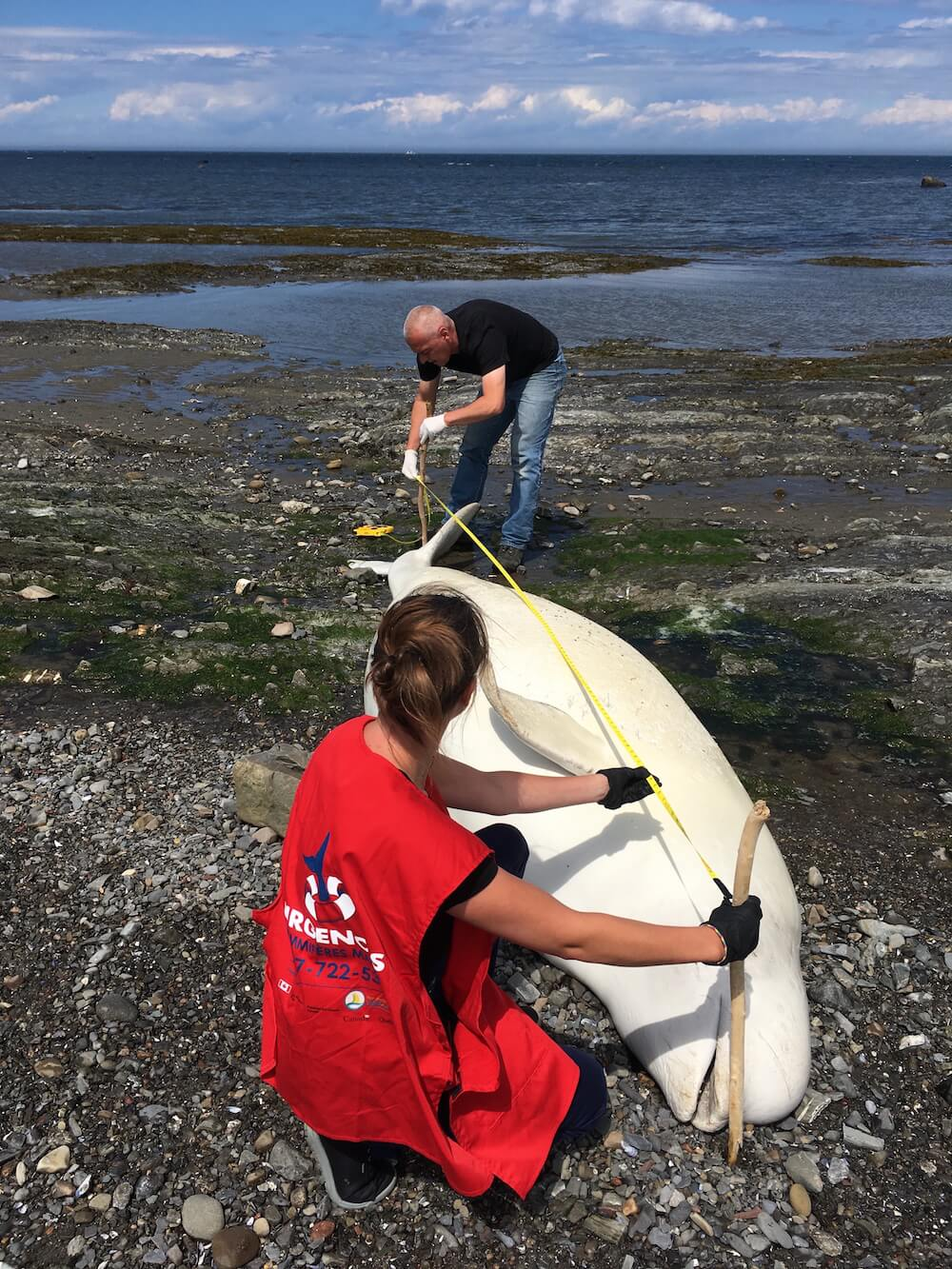 Deux bénévoles mesurant la longueur d'un bélugas échoué.
