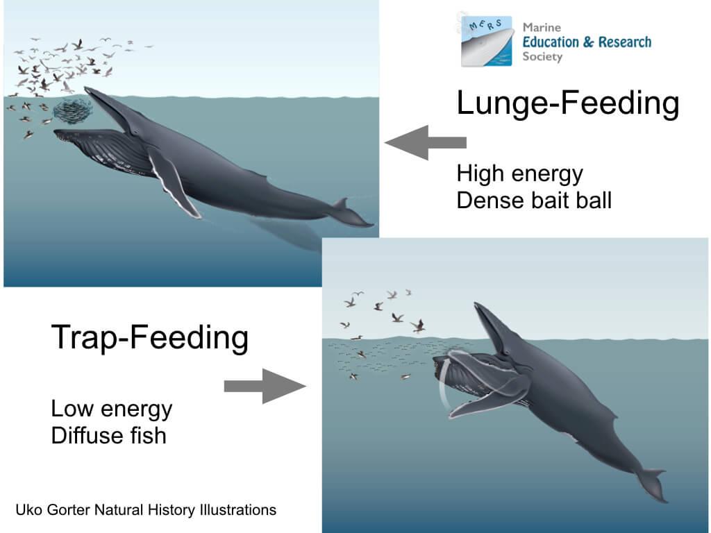 Comparaison des techniques d'alimentation, en nageant à grande vitesse à la surface engloutissant la totalité du banc et par piégeage.