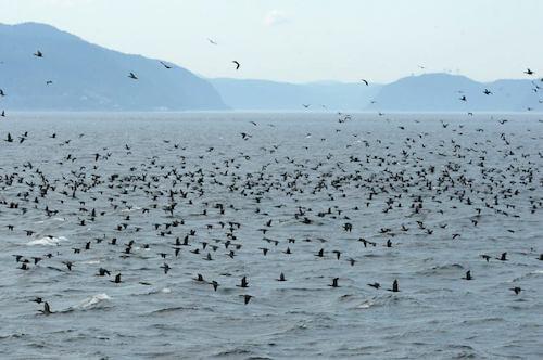 De nombreux cormorans regroupés à la surface de l'eau.