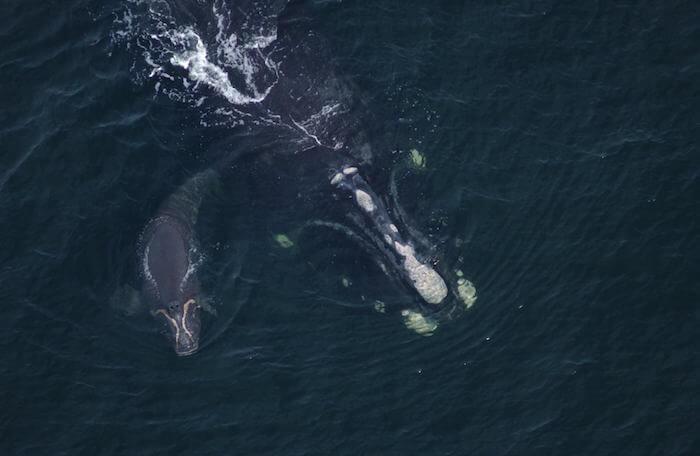Couplet nageant avec son baleineau en 2003