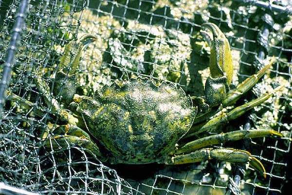 Un crabe vert