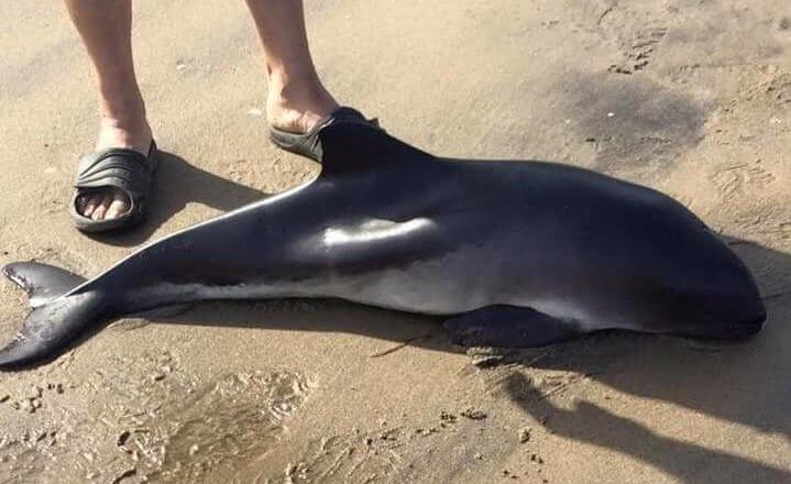 Live stranded harbour porpoise found at Portneuf-Sur-Mer.
