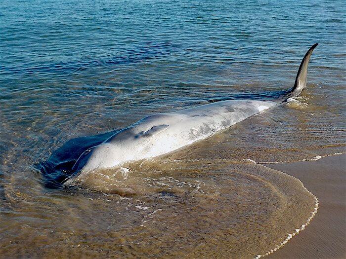 Une baleine à bec de True