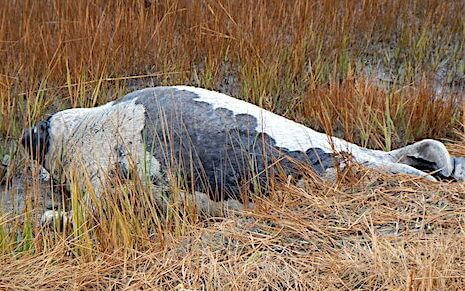 An adult harp seal was seen in the high grass near Rimouski