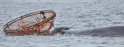 Fin whales Crochet entangled in a crab trap