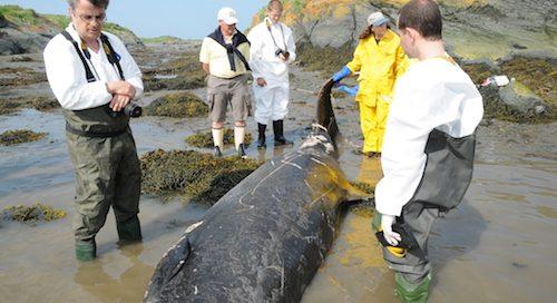 Carcasse d'une baleine à bec de sowerby