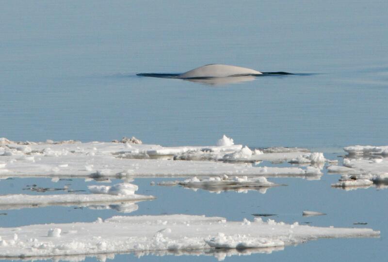 Dos de béluga à travers les glaces.