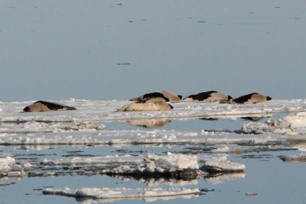 Des phoques du Groenland se prélassent sur les glaces. © Renaud Pintiaux (archives)