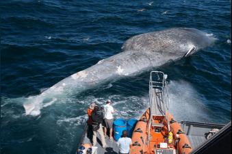 es chercheurs examinent le cadavre d'une baleine bleue.