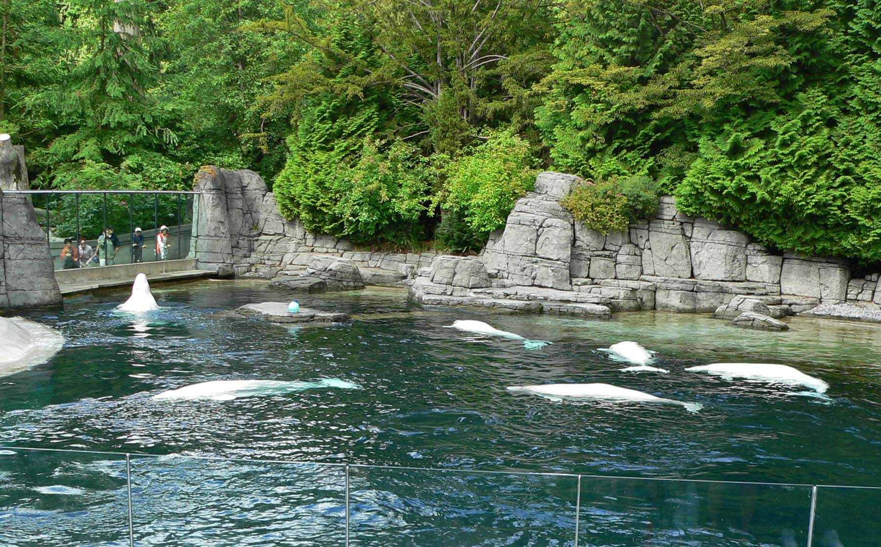 Beluga whales at Vancouver Aquarium in 2005