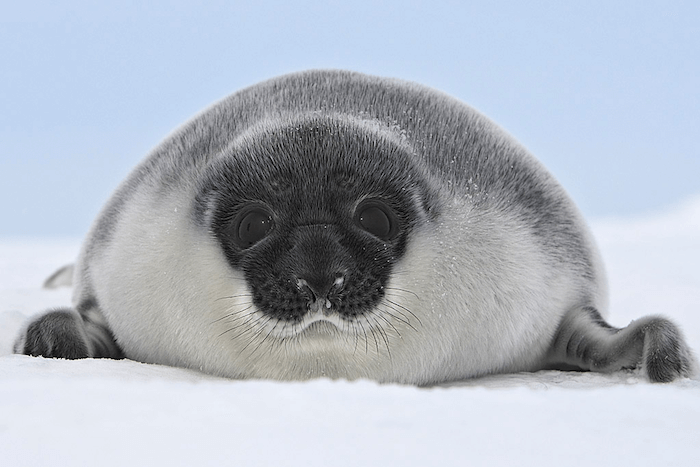 "Young hooded seal, a.k.a. ""blue-back"""