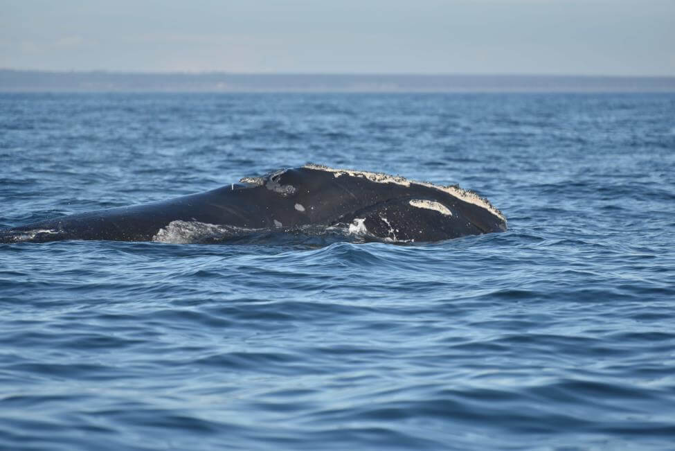 North Atlantic Right Whale emerging from water