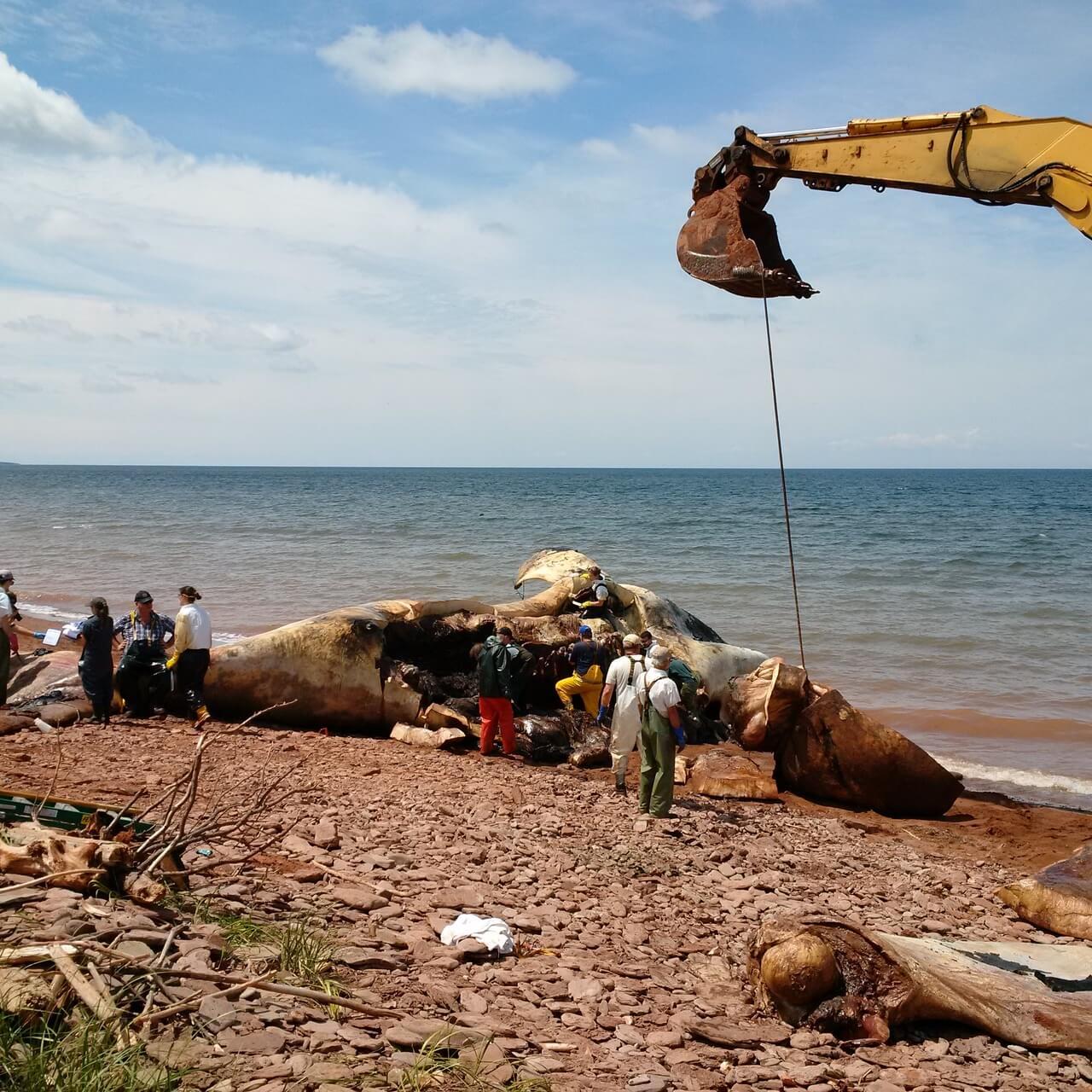 Nécropsie sur une baleine de 14 mètres