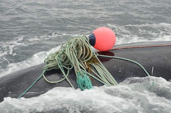Dos de baleine noire empêtré dans un cordage de pêche