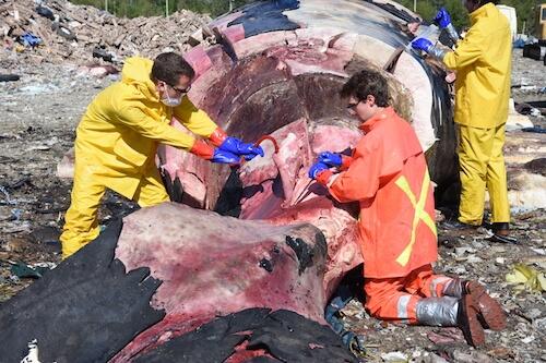 Dépeçage de Piper, une baleine noire de l'Atlantique Nord