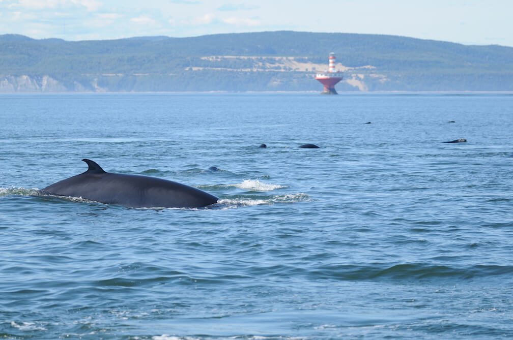 A minke whale swims with grey seals in front of the Haut-Fond-Prince Lighthouse, showing biodiversity